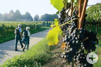 Geführte Wanderung über den Meersburger Weinkundeweg