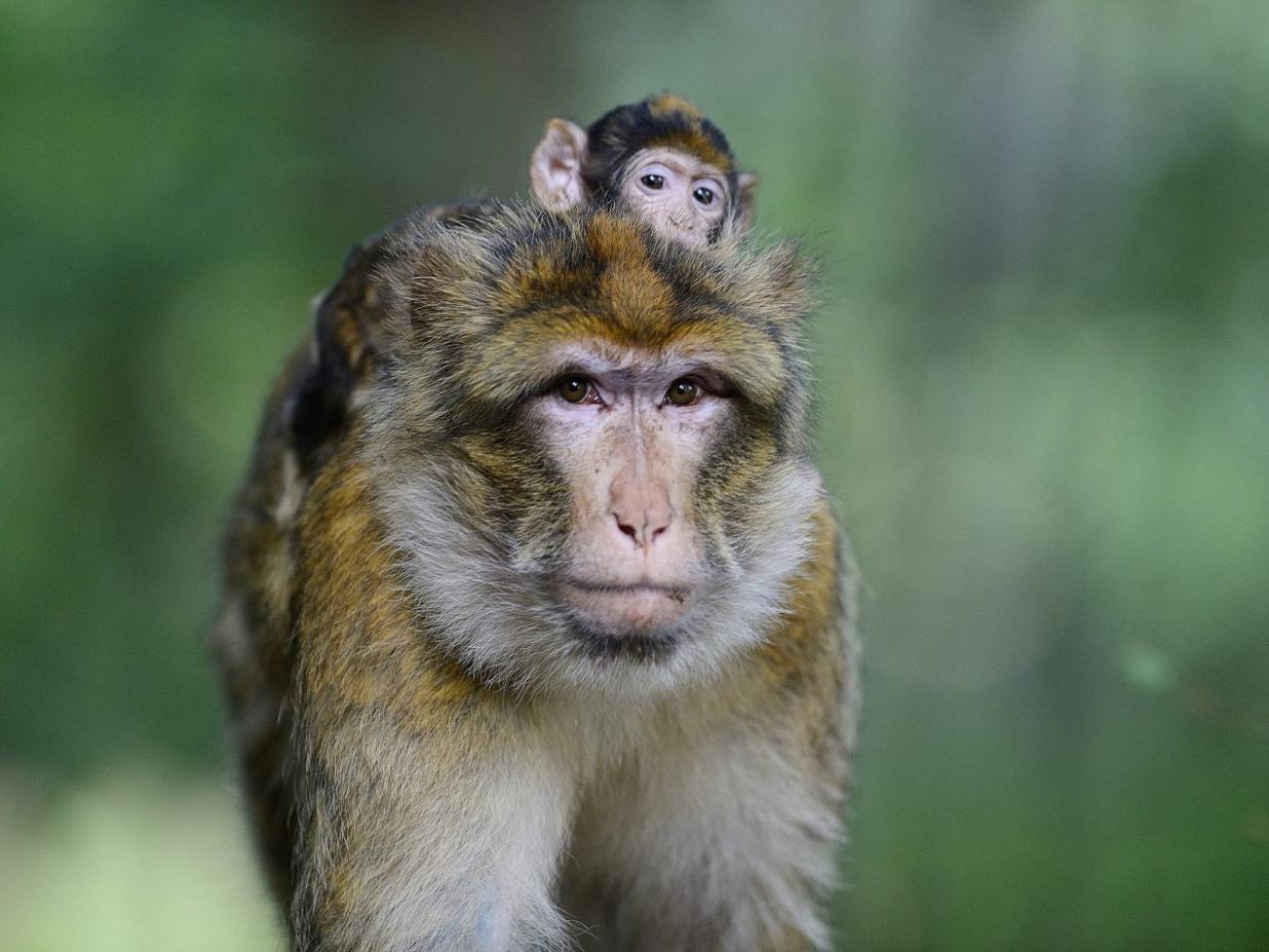 Portrait einer Berberaffenmutter mit Kind auf dem Rücken.
